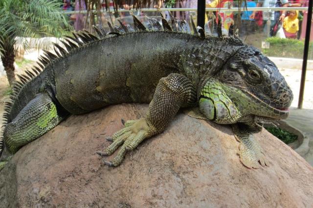 iguana Malang 02